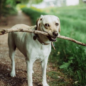 A dog holds a stick in its mouth
