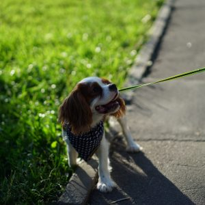 Dog on a leash looking at its owner